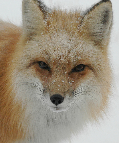 What Does a Fox Face Look Like